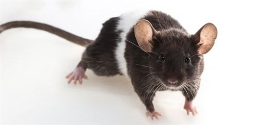 rat - 544932694 - online