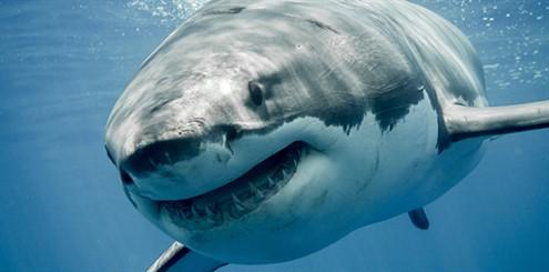 shark - 383911420 - online